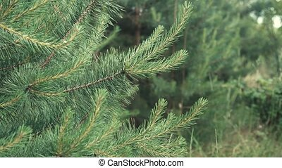 Forest Coniferous Young Tree - Daytime shot of young...