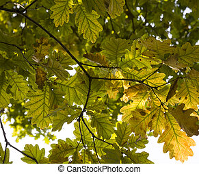 forest under the sunshine in the autumn, details of old oak with drying out foliage