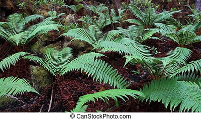 Forest Ferns - A group of green ferns growing on the forest...