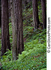 Ferns and oxalis growing under a remote coastal redwood forest in California.
