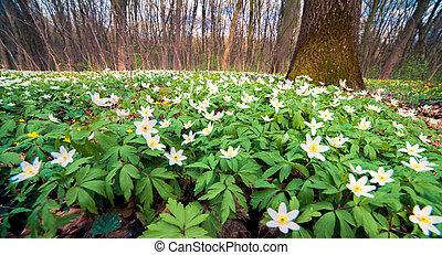 forest., fiori primaverili, anemone, azzurramento