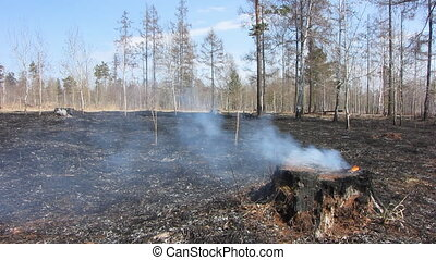Forest fire 3 - Forest after fire. Smoking burning tree.