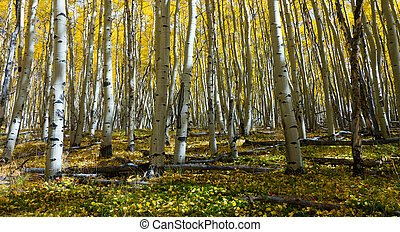 Forest Floor Covered With Yellow Aspen Leaves