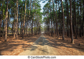 Forest, Footpath, Dirt Road, Pine Tree, Mountain