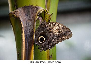 Forest Giant Owl butterfly (Caligo Eurilochus) - A forest ...