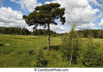 Forest glade with a pine tree