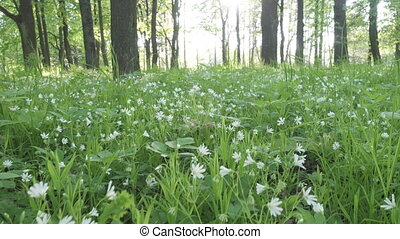 Forest glade with Wild Stellaria white flowers swinging on the wind. Spring.Stellaria is a genus species flowering plants in the family Caryophyllaceae