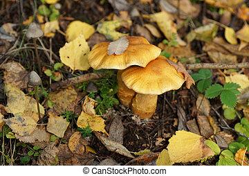 forest., hongos, dos
