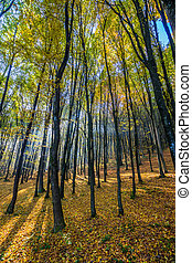 forest in foliage on sunny autumn day - tall trees with...