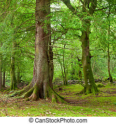 Forest in Scotland - Old trees with lichen and moss in...