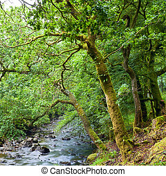 Forest in Scotland - Old trees with lichen and moss along...