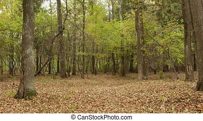 Forest in the autumn. Smooth dolly shot