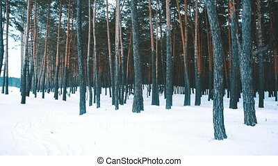 Forest in white winter