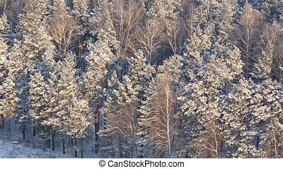 Forest is snow-covered in sunny winter day