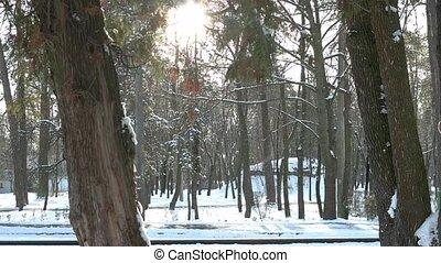 forest., kiefer, verschneiter
