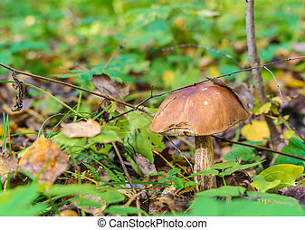 Forest landscape with boletus in the foreground