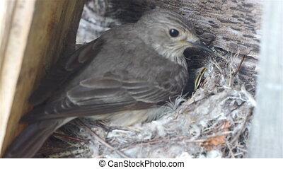 Forest lark bird feeding nestlings in the nest, wildlife...