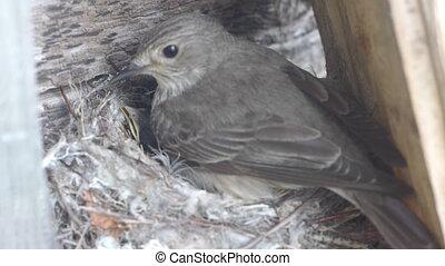 Forest lark nestlings in the nest - Forest lark feeding...