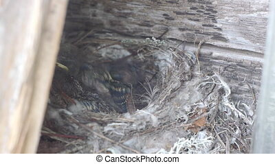 Forest lark nestlings in the nest