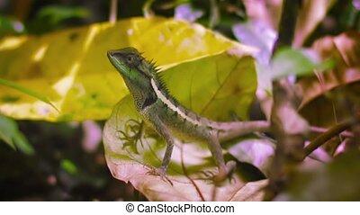 Forest lizard on fallen leaves close up. Thailand, Phuket