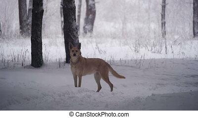 forest., marche, lent, hiver, chien, mouvement