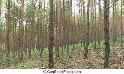 Forest monoculture of pine Pinus sylvestris forest bark in...