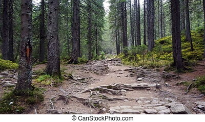 Forest mountain trail with roots