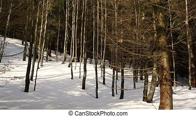 Forest mountain winter forest of a young beech forest of...