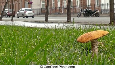 Forest Mushroom on the street with urban background