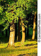 Forest - Oak forest at the sunset light