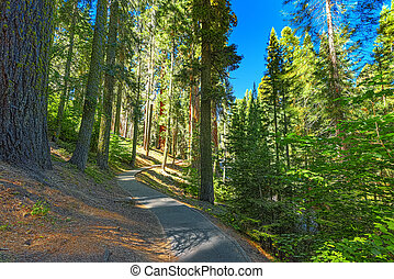 Forest of ancient sequoias in Yosemeti National Park.