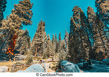 Forest of ancient sequoias in Yosemeti National Park. ...