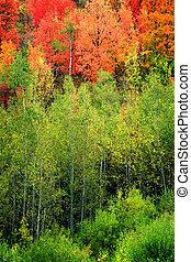 Forest of Autumn Fall Trees Birch Maple