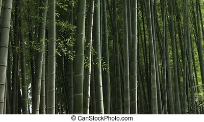 forest of bamboo - This is Japanese  forest of bamboo.
