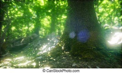 Forest of Beech Trees illuminated by Sunbeams - forest of...