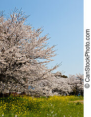 Forest of cherry blossoms