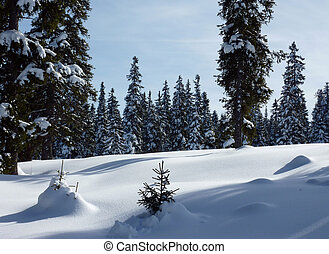 Forest of fir trees by winter