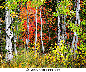 Forest of Pine, Aspen and Pine Trees in Fall - Autumn...