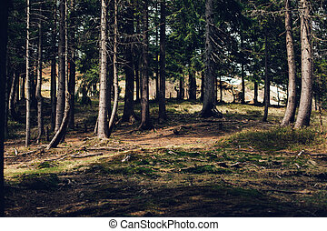 Forest of pine in the mountains