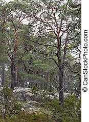 Forest of pine trees and white moss