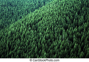 Forest of green pine trees on mountainside