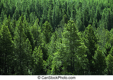 Forest of PIne Trees Green Wooded Wilderness