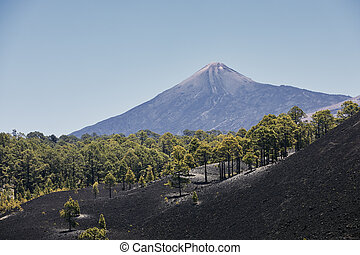 Forest of pine trees growing in volcanic landscape