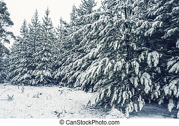 Forest of pine trees in snow