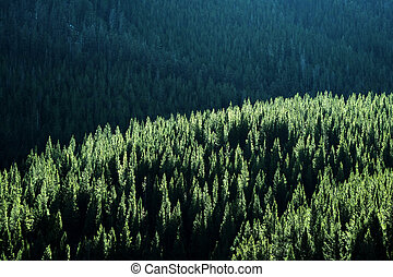 Forest of Pine Trees in Sunlight Wilderness Mountains