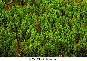 Forest of Pine Trees in Wilderness Mountains