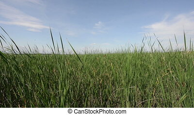 Forest of reed with blowing wind and blue sky