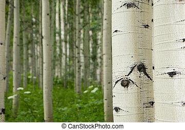 Forest of tall white aspen trees in Aspen, Colorado