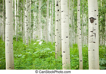 Forest of tall white aspen trees in Aspen, Colorado
