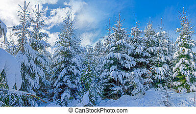 Forest of young fir trees covered with snow